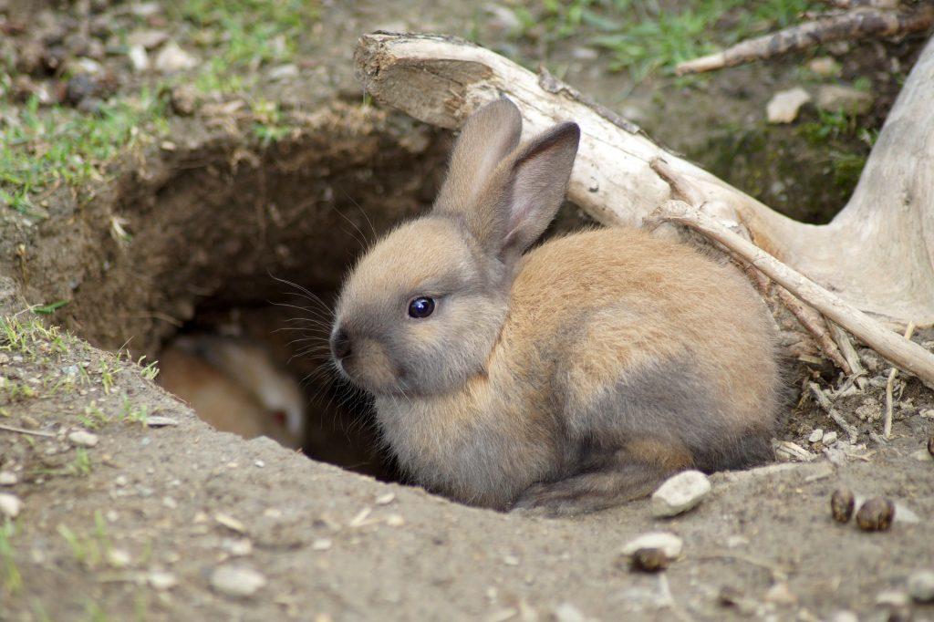 ¿Cómo les afecta el virus hemorrágico a los conejos y por qué México emitió alerta sanitaria?