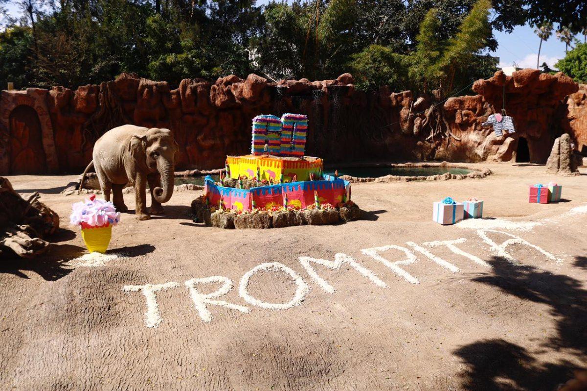 ¡Feliz cumpleaños Trompita! Zoológico La Aurora festeja a elefanta con actividad especial