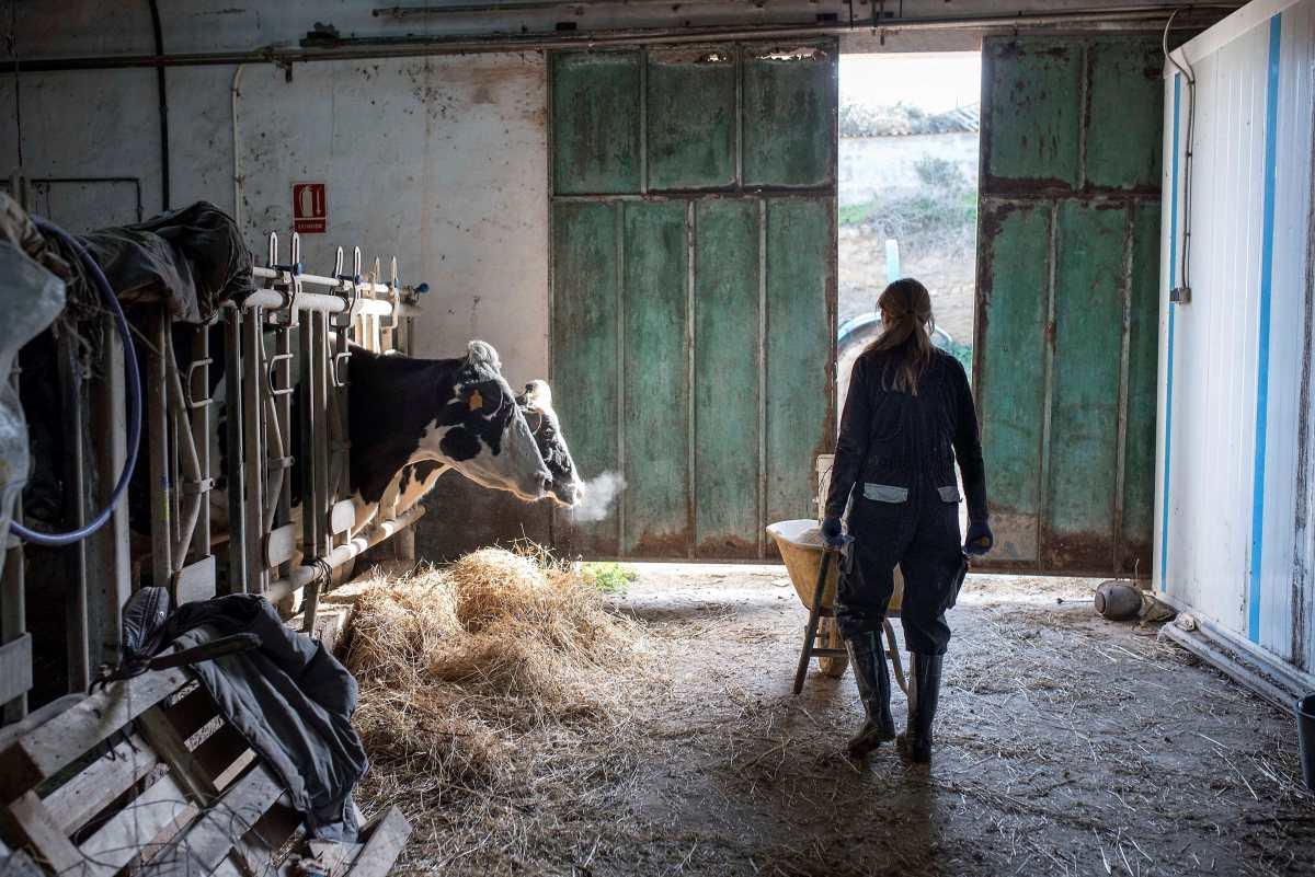 """Les enseñan a las vacas a """"ir al baño"""" para reducir los efectos del cambio climático"""