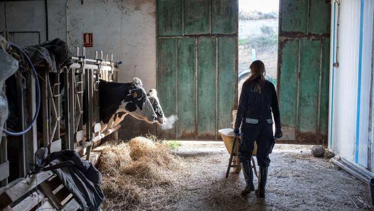 Según los investigadores, el nitrógeno contenido en la orina de las vacas se descompone con el tiempo en sustancias problemáticas para el medioambiente. (Foto Prensa Libre: Hemeroteca PL)