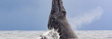 Una ballena jorobada adulta puede llegar a medir entre nueve a 15 metros. (Foto Prensa Libre: EFE)