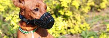 Consejos para el uso de bozal en perros