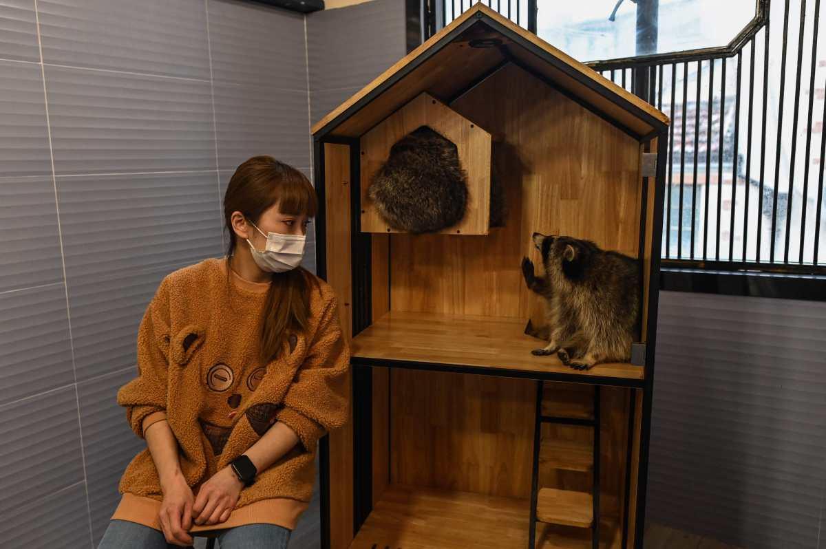 """¿Iguana o mapache? El auge de los """"cafés con animales"""" exóticos en China"""