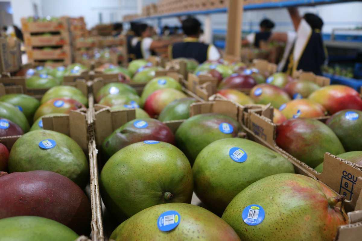 Seis empacadoras de mango se preparan para pasar la página de la pandemia y recuperar ventas