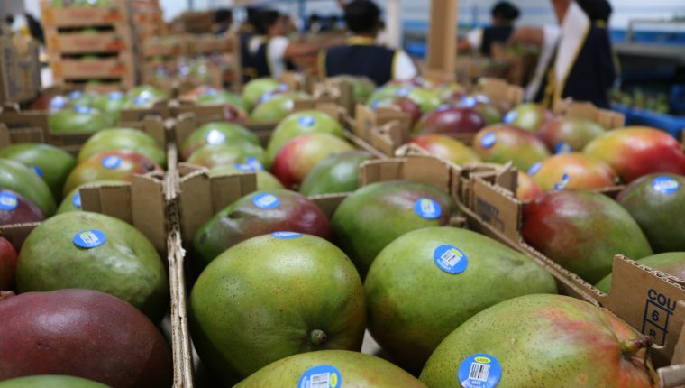 La cosecha de mango en el país inicia entre febrero y marzo y finaliza en mayo. (Foto, Prensa Libre: Agexport).