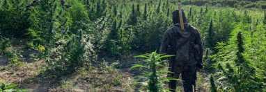 Una de las plantaciones de marihuana que fue ubicada en comunidades de Las Cruces, Petén. (Foto Prensa Libre: Ejército de Guatemala)