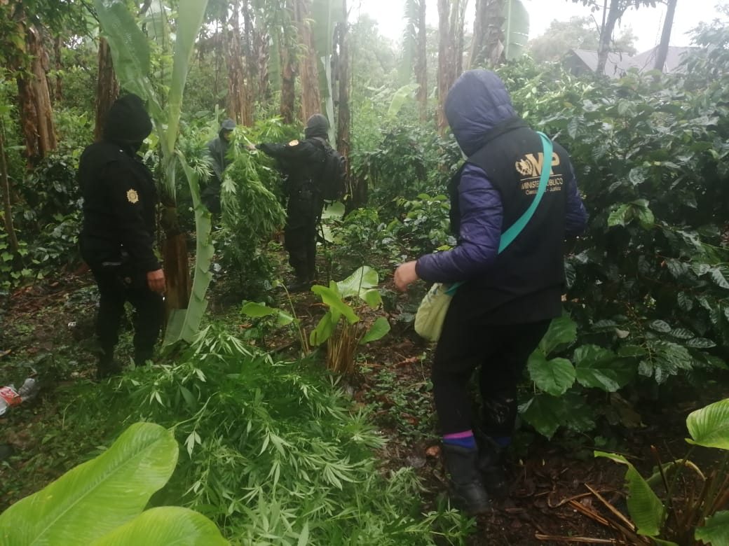Capturan a dos jóvenes en plantación de marihuana en Huehuetenango