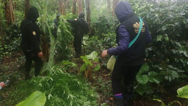 Autoridades erradican el sembradío de marihuana encontrado en Santa Cruz Barillas. (Foto: PNC)