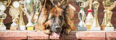 shutterstock  En el mundo ciertas instituciones velan por preservar razas de perros, pero su labor va más allá y fomentan acciones educativas y de conocimiento de los animales.  (Foto Prensa Libre: Shutterstock).