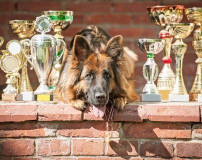 El cuidado de los perros para exhibiciones y competencias