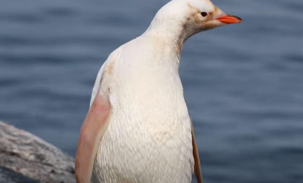 ¿Enfermedad o nueva especie? Captan en la Antártida a increíble pingüino de color blanco