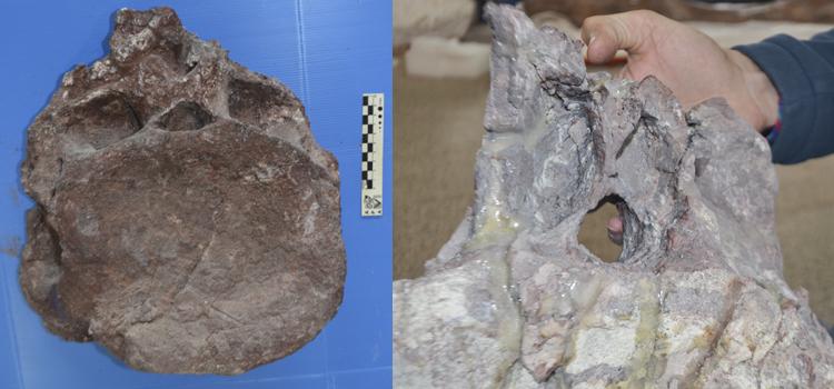 Los impresionantes hallazgos que demuestran que el titanosaurio encontrado en Argentina es el más antiguo