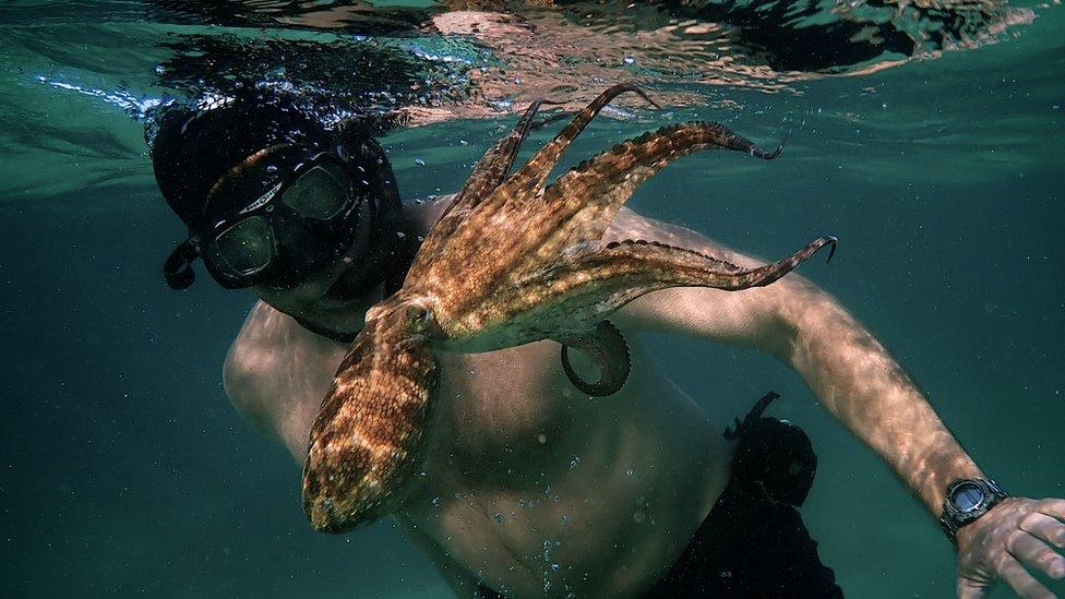 """""""My Octopus Teacher"""": 5 características fascinantes de los pulpos que muestra el documental nominado al Oscar"""