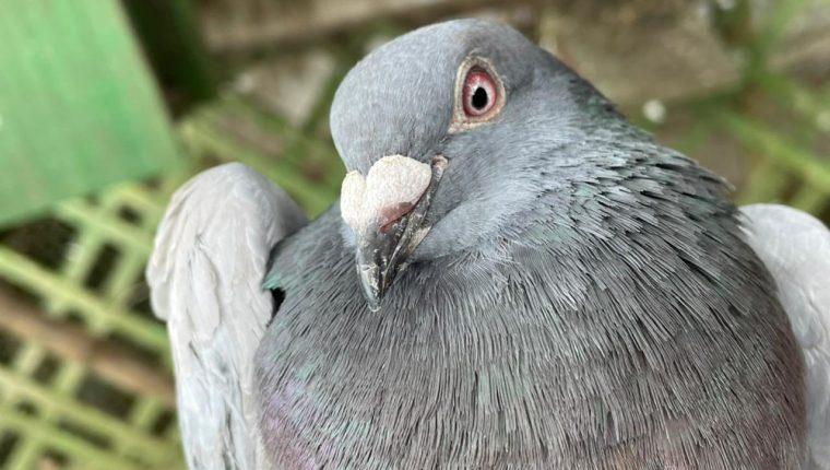 Cuidados y entrenamiento de palomas mensajeras