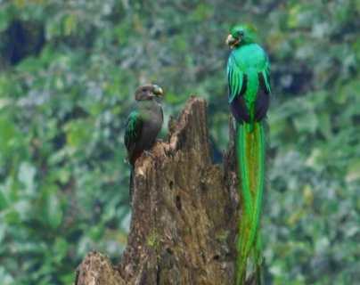 Ejemplares de quetzal se observan en reservas naturales en Atitlán. (Foto Prensa Libre: Cortesía Uri Morataya)