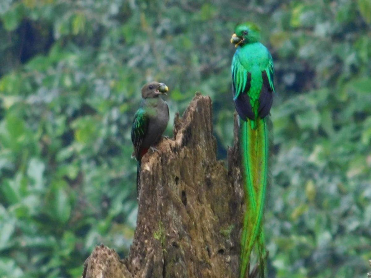 Pareja de quetzales cuida y alimenta a sus crías en reserva natural de Santiago Atitlán
