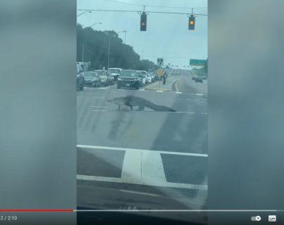 Sorprendente: captan a enorme caimán paseando en una carretera de Florida y el video se hace viral