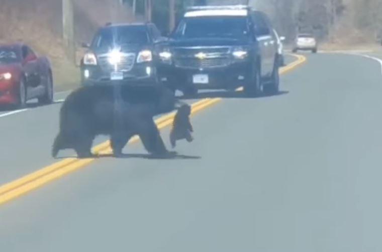 El tierno video que se hizo viral de una mamá cruzando a sus oseznos por una carretera