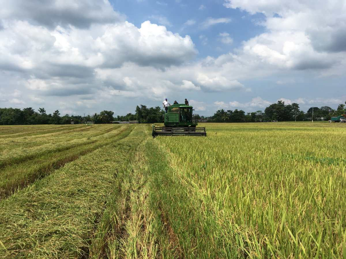 Arroceros elevan reclamo por controversia con el gobierno sobre compra de grano con cáscara