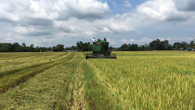 En Guatemala se destinan aproximadamente  14 mil 400 hectáreas de cultivo de arroz, según el Maga. (Foto Prensa Libre: Cortesía)