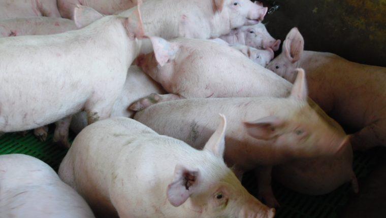 El Maga hace un llamado a porcicultores para que se registren en el Programa de Trazabilidad Porcina. (Foto Prensa Libre: Hemeroteca)