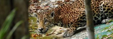 Para poder sacar una buena fotografía de un jaguar se requiere tener nervios de acero, según el experto. (Foto Prensa Libre: Francisco Asturias)