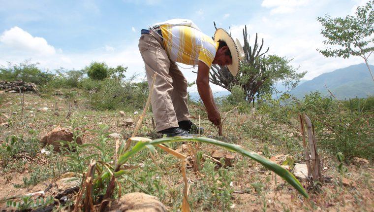 Las lluvias ya comenzaron en la boca costa y sur occidente del país, lo que es positivo para la agricultura, que se ha visto afectada por períodos de sequía. (Foto Prensa Libre: Hemeroteca PL)