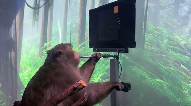 El mono Pager, con un chip experimental en su cuerpo, juega un videojuego.