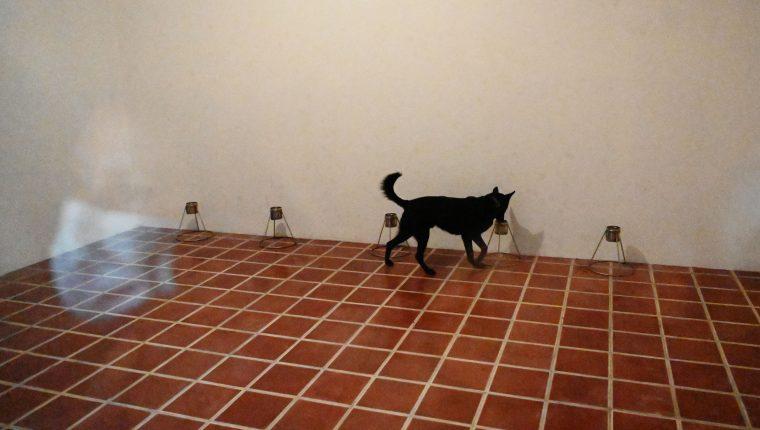 Un perro entrenado bajo el método Arcón, es llevado a realizar un ejercicio de demostración de detección del covid-19, en un cuarto oscuro con una serie de señales señuelos en San Luis Talpa, El Salvador. (Foto Prensa Libre: AFP)