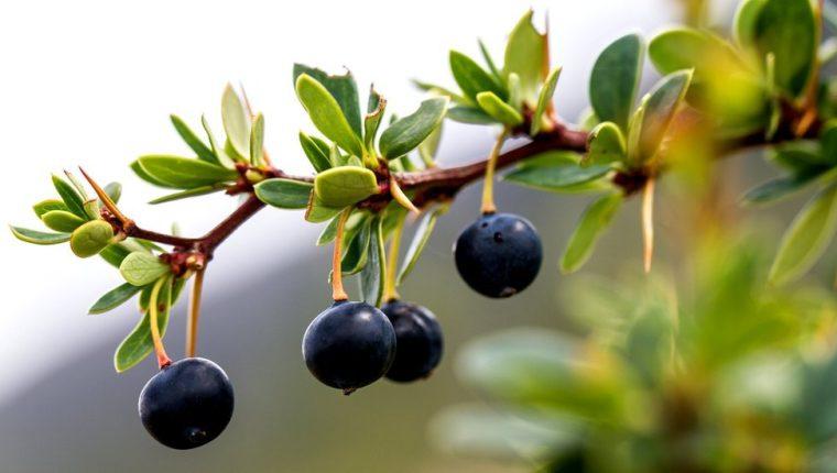 Los indígenas conocen desde hace mucho tiempo los beneficios para la salud de los frutos locales.