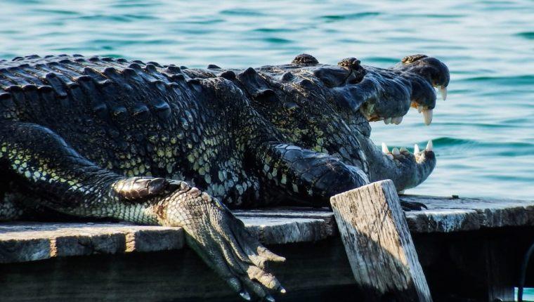El cocodrilo lleva 40 años viviendo ahí, según el ambientalista Francisco Asturias. (Foto Prensa Libre: Cortesía Lukas García)