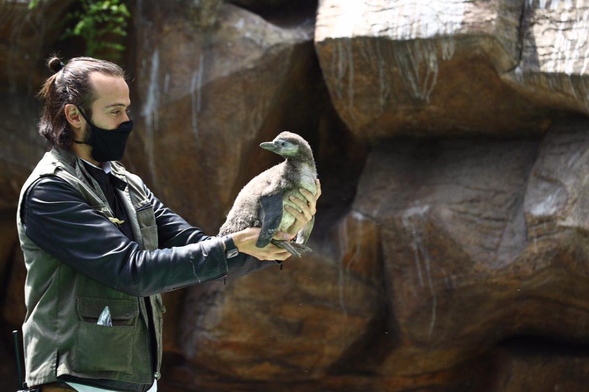 Nace pingüino en el Zoológico La Aurora y de esta forma los guatemaltecos podrán observarlo