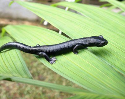 Estudiantes de biología de Guatemala descubren nueva especie de salamandra en bosque de Alta Verapaz