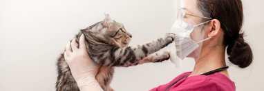 Los gatos son más susceptibles a contagiarse de Covid-19, por lo que es ideal mantener la mascarilla si usted está contagiado del virus. (Foto Prensa Libre: Shutterstock).