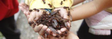 La especie de zompopos 'Atta cephalotes' es la más común en todo el territorio nacional. (Foto Prensa Libre: Hemeroteca PL)