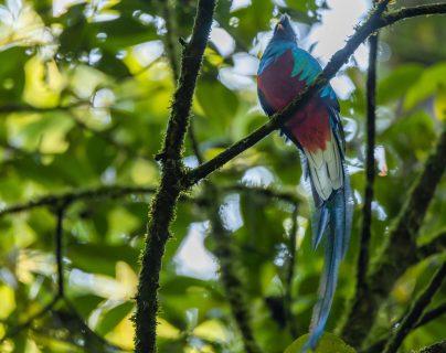 Colocan nidos artificiales en reserva natural e impulsan la reproducción del quetzal