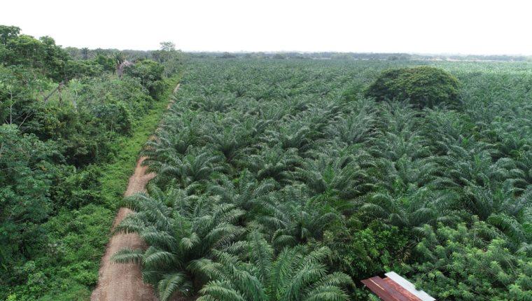 Se calcula que el cultivo de palma de aceite representa el 0.67% del total de la deforestación a escala nacional. (Foto Prensa Libre: Hemeroteca)