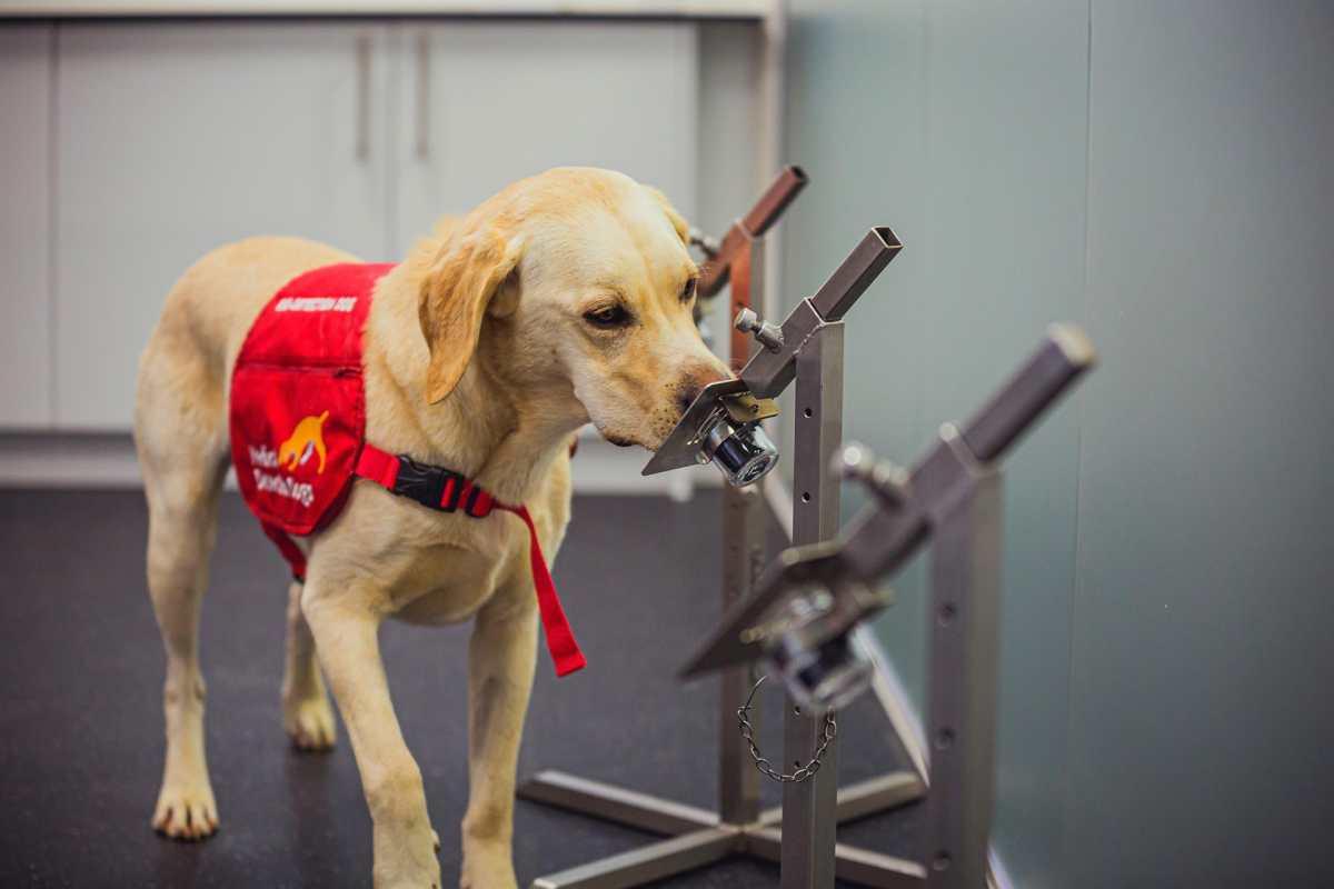 Coronavirus: Los perros pueden detectar el covid-19 con una precisión de hasta el 94%, según nuevo estudio