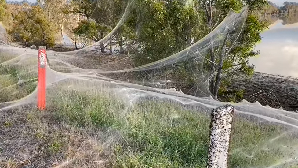 Las enormes telarañas que cubrieron un territorio en Australia tras una tempestad