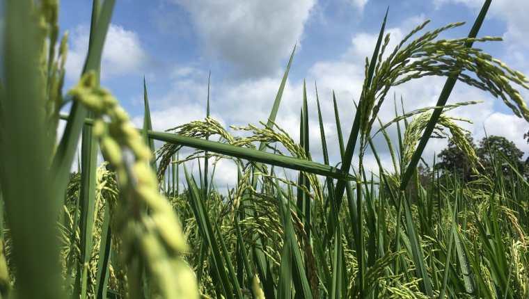 Productores de arroz de Centroamérica y República Dominicana advierten de impactos por eliminación de aranceles en el DR-CAFTA. (Foto Prensa Libre: Cortesía)