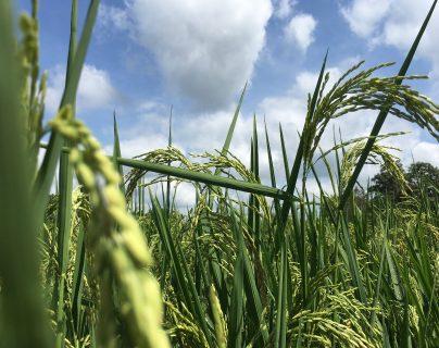 El doble reto que enfrentan los productores de arroz en Guatemala ( y por qué podría afectar producción y empleo)