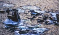 ballenas caza burbujas australia