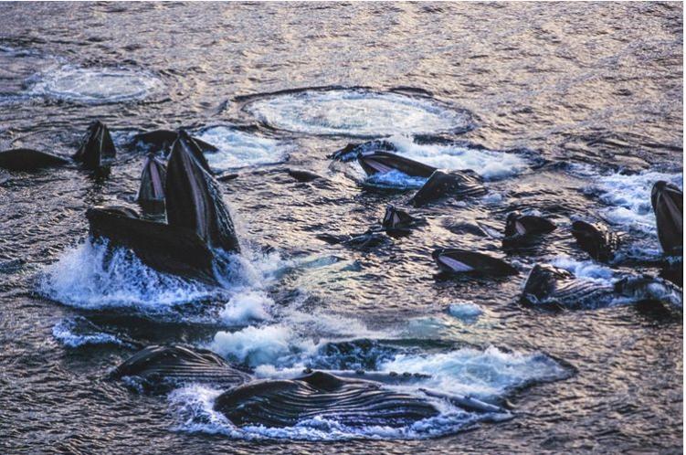 Video: el primer avistamiento de ballenas cazando con burbujas en Australia
