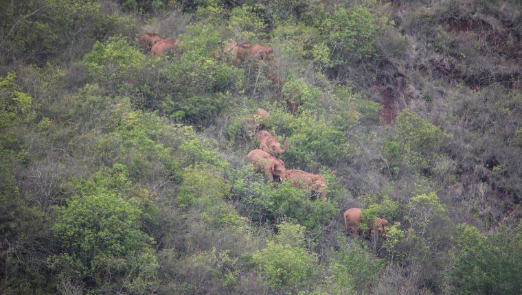 El recorrido de los elefantes está vigilado constantemente por drones y personal se dedica a despejar a la población a su paso. (Foto Prensa Libre: AFP)