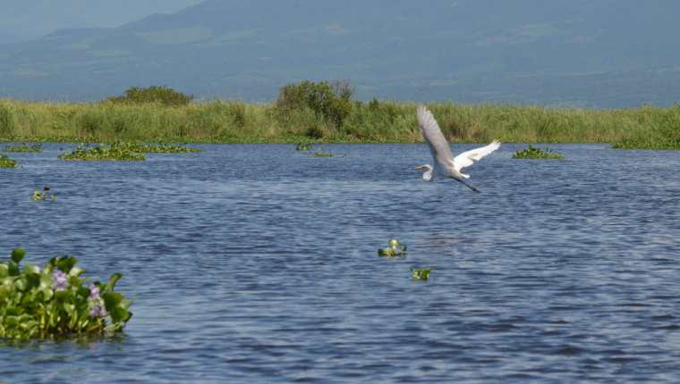 El Manchón Guamuchal es el bosque de mangle más importante del pacífico guatemalteco. (Foto Prensa Libre: Hemeroteca PL)