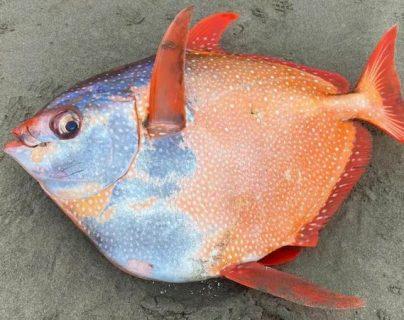 """El excepcional hallazgo de un ejemplar del misterioso pez luna real, el único """"de sangre caliente"""""""