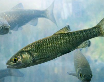 ¿Por qué los peces se han vuelto adictos a las drogas ilícitas?