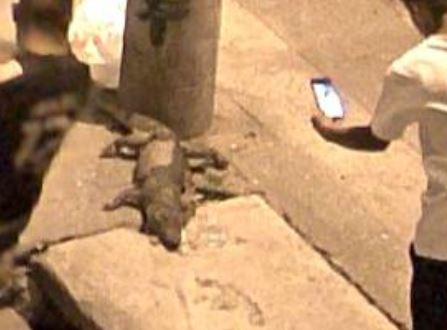 Localizan cadáver de cocodrilo frente a Plaza Mariachis en la capital