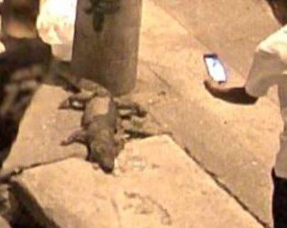 Cadáver de cocodrilo localizado en la zona 3 de la capital. (Foto Prensa Libre: Amílcar Montejo)