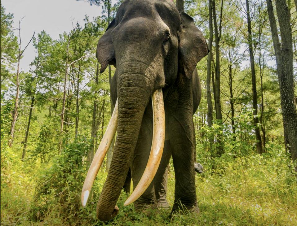 Sin colmillos y decapitado: el indignante hallazgo de un elefante en Sumatra y lo que se encontró en su sistema digestivo